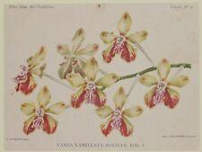 COGNIAUX GOOSSENS VANDA LAMELLATA BOXALLII ORCHIDEE ORCHIDS ORCHIDEE FIORI 1800