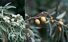 Elaeagnus angustifolia, Russian Silverberry . True 15 seeds from Moldova