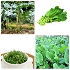 500  Graines de Chou cavalier, Collard Greens Galice, Kale tree seeds