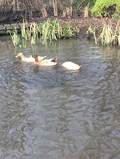 buff orpington duck hatching eggs x6