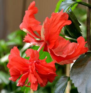 """Hibiskus, Hibiscus rosa sinensis,"""" El Capitolio """""""