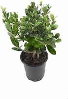 Pineapple Guava Plant - 1 Live 4 Inch Plants - Feijoa Sellowiana - Edible Flower