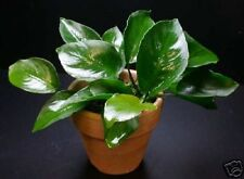 Anubias broad leaf (FREE Ship!) Live Aquarium Plant INV