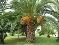 PHOENIX DACTYLIFERA - Date palm (15 SEEDS)