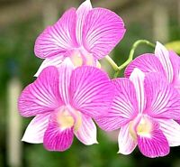 Dendrobium orchid Purple Thailand Stripe small live plants seedling