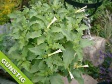 Gemeiner Stechapfel Samen Datura Weiß