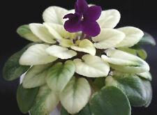 Jolly Jubilee Blatt/ leaf African Violet Usambaraveilchen