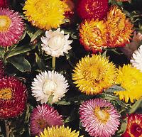 Helichrysum Bright Bikini Seed Annual Flower Summer Drought Tolerant Strawflower
