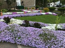 9 Perennial Creeping Phlox Lavender Ground Cover 3 Yrs Old Live Plant