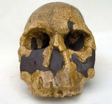 MOULAGE FOSSILE crane Homo rudolfensis KNM-ER-1470 hominid skull fossil replica