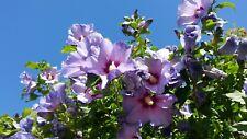 10 Hibiscus Seeds Blue Violet Flowers juice tea medicine korea iran africa egypt