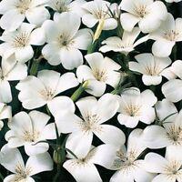 Agrostemma- White- 50 Seeds- BOGO 50% off SALE