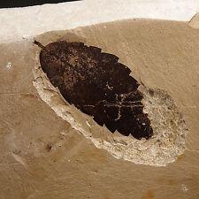 LEAF FOSSIL- Zelkova zelkovifolia - Miocene - Erdobenye - HUNGARY