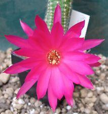 Ferienpreis: Echinopsis Chamaecereus Hybride Magdalena