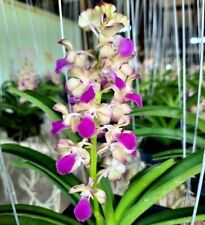 Rhrds.Thainoi x Rhyn.Coelistis , Fragrant Vanda Orchid