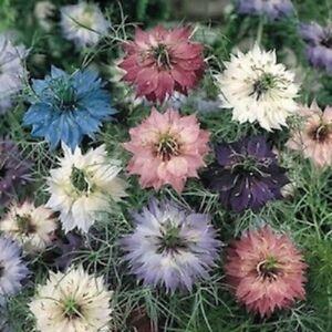 Nigella damascena 'Persian Jewels Mixed' / Love-in-a-Mist / Hardy / 1000 Seeds