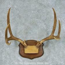 #13454 N+ | Mule Deer Antler Taxidermy Mount