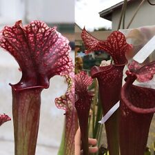 S-011 Judith Hindle x Royal Ruby - Sarracenia Seeds