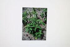 15 Semillas Grande,hojas de ensalada basílikum,Ocimum basilicum (albahaca),# 198