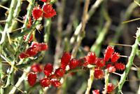 5 Cuttings, Cylindropuntia leptocaulis, Christmas Cholla Cactus Tasajillo Turkey