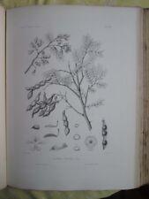 Vintage Print,PLATE 116,IRON WOOD,Silva,Trees,1st Ed.c1900
