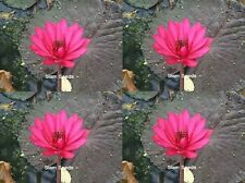 100 SEEDS RED NIGHT WATER LILY NYMPHAEA POND PLANT FRESH AND VIABLE NOT LOTUS