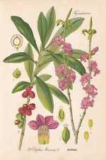 Daphne mezereum-Daphné Thome Lithographie de 1886 Spurge Laurel