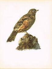 Alpine Accentor - 1960 Vintage Bird Print by E DeMartini