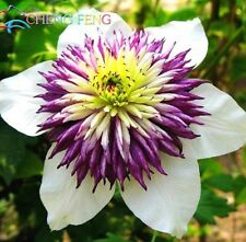 USA-Seller 100pcs/lot Mix Beautiful Clematis Seeds Bonsai Flower Seeds