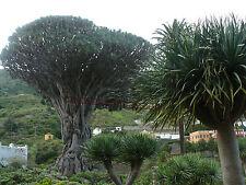 5 Semillas - Drago de Canarias - DRACAENA DRACO - Arbol Jardin Medicinal