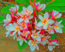 """Plumeria /"""" Pearl """"/ 50 seeds Wonderful blooms!"""