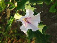 🔥 Datura  weiss/lila 15 Samen ** Duftpflanze ** Engelstrompete Balkon Kübel