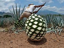 5 live Plants agave tequilana especial ofertt