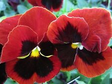 A 0.1g (approx. 80) pansy seeds CLARET nice burgundy color with dark bloch Large