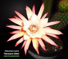 NEW,Hildewintera,HERMAN HELM,1 Gal,Rare,plant,Echinopsis,Chamaecereus,blooming,