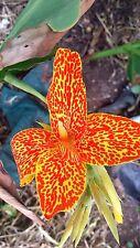 Canna Lily (Canna x generalis) 'En Avant' x 1 seedling. Produces fertile seeds