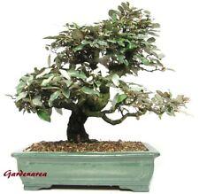 30 Graines Olivier de Bohême 'Elaeagnus angustifolia' Russian olive tree seeds