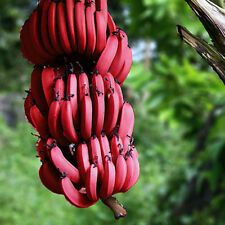 200 Pcs Red Banana Tree Plants Seeds Sweet Delicious Fruit Garden Decor Fashion