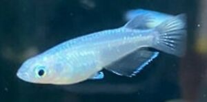 Japanese Platinum Medaka ricefish rice fish eggs -Please see Description- 10+