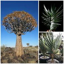 50 semi di aloe dichotoma , piante succulente, piante grasse