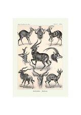 Antelope Biology Poster | Marine life Illustration Art Ernst Haeckel,1904