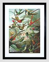 NATURE BIOLOGY BIRD HUMMING ERNST HAECKEL GERMANY VINTAGE ART PRINT B12X2835