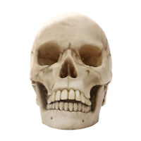 Life Scale 1: 1 Resin Human Skull Model Anatomical   Teaching Skeleton