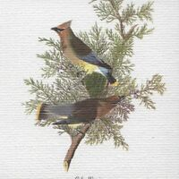 "AUDUBON BIRDS ""CEDAR WAXWING"" STUNNING BIRD Color Art CANVAS MAGNET"