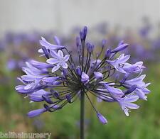 New Agapanthus Middelburg blue flowers excellent garden plant