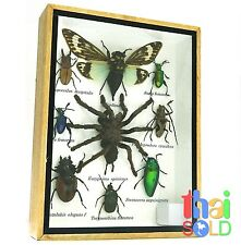 Assorted 9 Real and Rare Insects Taxidermy in Wooden Box 160712