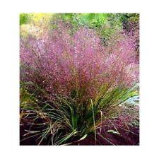 50+ Purple Love Grass Eragrostis / Thrives in poor soil / Perennial Flower seeds