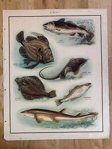 Vintage Art Original MacMillan Nature School Poster Sea Fish Cod Plaice Whiting