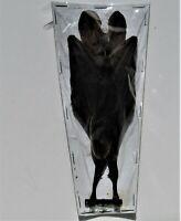 False Vampire Bat Megaderma spasma Hanging Taxidermy FAST FROM USA