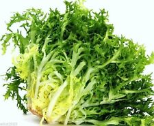 Curled Ruffec'Endive - (2000 Seeds) Very Hardy, Grow year round - Organic !